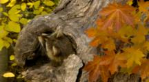 Raccoon In Hole In Tree With Fall Colors
