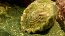 Fish, Possibly Sarcastic Fringehead, Hides In Turban Snail Shell