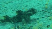 Horn Shark Rests On Sandy Bottom