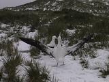 Wandering Albatross Pairbonding Display
