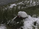 Wandering Albatross Sitting On Nest