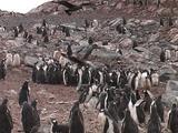Skuas Harass Gentoo Penguin Creche