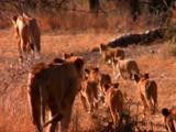 Lions Walk With Cubs Near Safari Vehicle