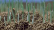 Time Lapse Wheat Seedlings Emerge And Grow In Field Setting