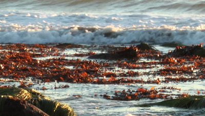 Red Seaweed Washes Up On Shore, Seagull On Rocks
