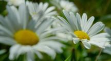 Daisies, Flower, Bunch, Group, Stem, Stems, White