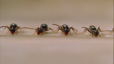 Ants Stand In A Line Drinking