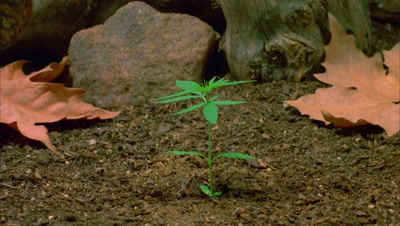 Time Lapse Marijuana Growing