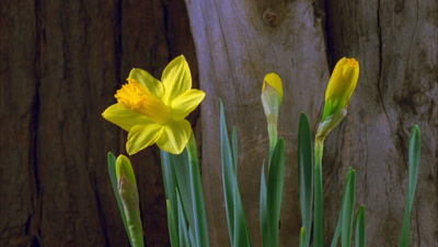 Daffodil, Blooming
