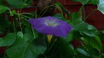 Morning-Glory, Blooming