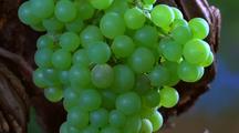 Grape, Growing