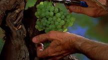 Grape, Harvesting