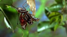 Fritillary Butterfly Emerging
