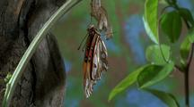 Fritillary Butterfly Hanging On Chrysalis