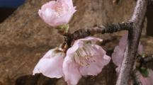 Peach Flowers Bloom