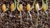 Six Wheat Seeds, In Earth Cross-Section, Sprout