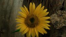 Long Shot Sunflower, Static Scene
