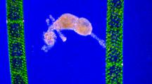 Amoeba With Algae, Blue Background