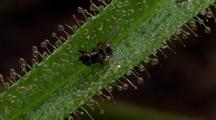 Carnivorous Plant Catches A Fly