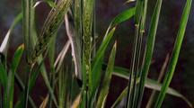 Wheat Fruiting (Two Stalks Fruit)