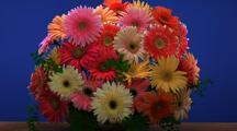 Gerbera Daisy Bouquet Comes To Life, Chroma-Key Blue Background