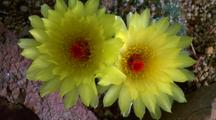 Yellow Cactus Flowers Open & Close