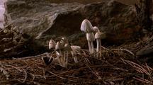 Snow Melts, Coprinus Mushrooms Grow & Die, 2nd Group Grows & Dies