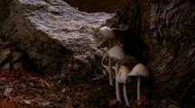 Snow Melts, Coprinus Mushrooms Emerge & Grow Next To Tree Trunk