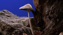 Snow Melts, Coprinus Mushroom Grows, Chroma Key Background