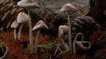 Snow Melts, Several Groups Of Coprinus Mushrooms Grow & Die
