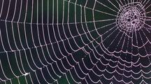 Close Up Dew Forms On Orb-Weaver Spider Web