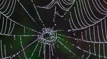 Close Up Dew Forms On Orb-Weaver Spider Web