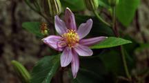 Lavender Star Flower Bud Opens, 1st Flower