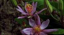 Lavender Star Flower Bud Opens, 2nd Flower