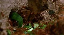 Leafcutter Ants Bring Leaves Into Nest From Tunnel, Take #1 (Best)