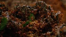 Leafcutter Ants Working On Fungus Garden, Extreme Close Up