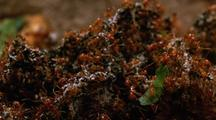 Leafcutter Ants Working On Fungus Garden, Close Up, Pan Right