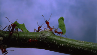 Leafcutter Ants On Green Branch,Sky In Background