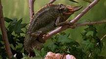 Three Horned Chameleon (Male) Captures Caterpillar With Sticky Tongue