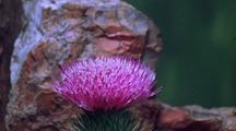Time Lapse Thistle Blooming