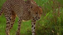 Cheetah Jumps From Tree