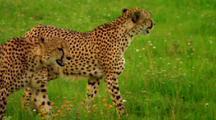 Cheetahs Walk Through Grass