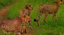 Cheetahs Walk Down Path