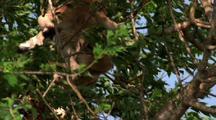 Giraffe Browses In Tree