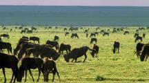 Two Wildebeest Butt Heads Among Herd