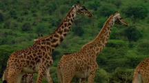 Small Herd Of Giraffes