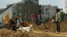 Men On Construction Site With Sitting Cows
