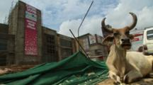 Cow Sits At Construction Site