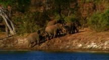 Herd Of Elephants Walk On River Bank