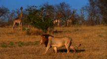 Male Lion Walks Along The Savannah, Giraffes In Background